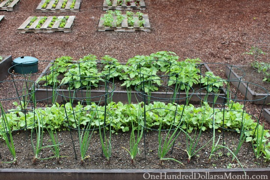 growing radishes and onions in a raised garden bed