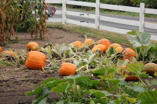 pumpkins-in-a-field-