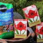 It's Not Too Late to Grow Amaryllis for the Holidays