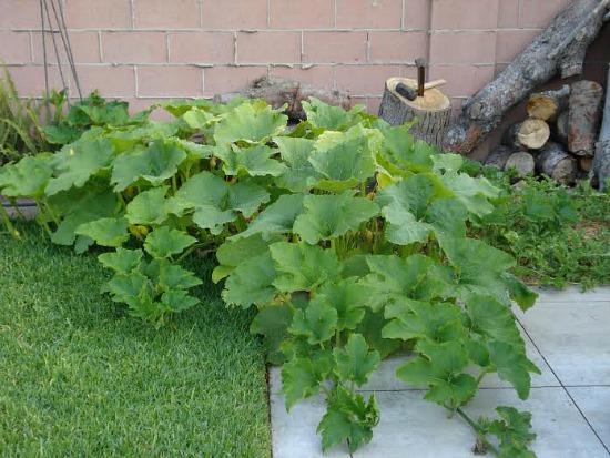 squash spreading over the patio