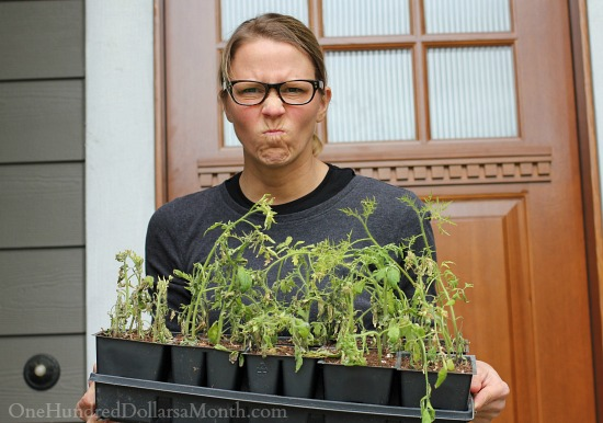 dead tomato plants