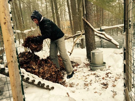 placing leaves in chicken coop snow