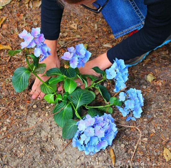 blue hydranga