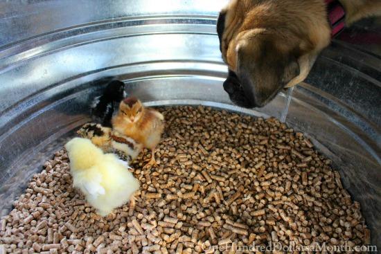 dog with chicks