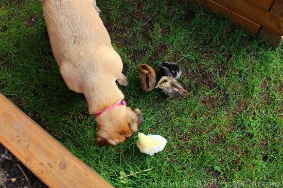 lucy puggle dog baby chicks