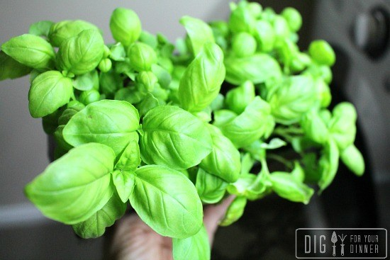 basil-seedlings-1