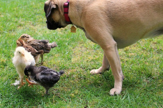 lucy-puggle-dog-baby-chickens-chicks