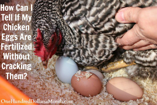 How-Can-I-Tell-If-My-Chicken-Eggs-Are-Fertilized-Without-Cracking-Them
