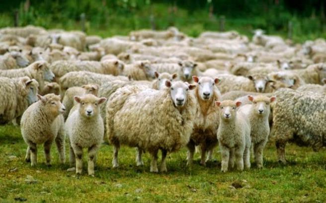 Πρόβατα έφαγαν κάνναβη και επιτέθηκαν σε χωριό!