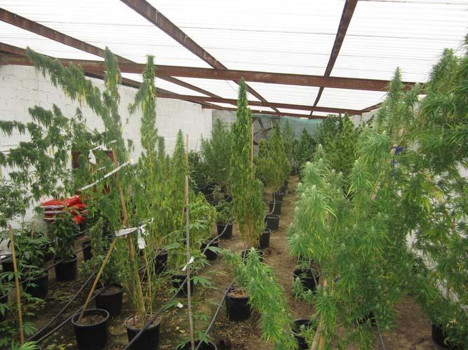 Σε στάνη στη Φαλάνη είχαν στήσει υπερσύγχρονη φυτεία χασίς! Συνελήφθησαν πέντε άτομα (ΦΩΤΟ)