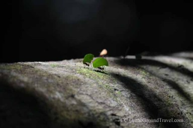 Leafcutter Ants in the Amazon jungle from trips around the world