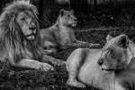 Johannesburg Lions