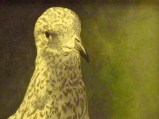 Meredith McMaster-Its a Seagull-Acrylic on Canvas-watercolour-200 dollars