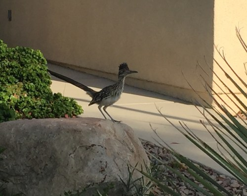 Neighborhood Roadrunner