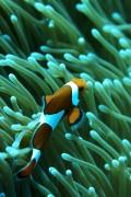 pesce-pagliaccio-anemone-wallpaper