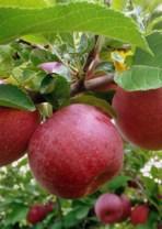La Manzana Roja Natural Orgánica