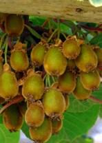 El Kiwi Orgánico