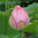 lotus flower - meditation before blooming