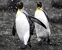 Penguins are not gay, just lonely