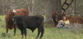 Rancher's vegan wife sets out to save cattle