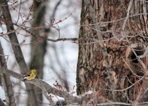 winter goldfinch DSC_0050
