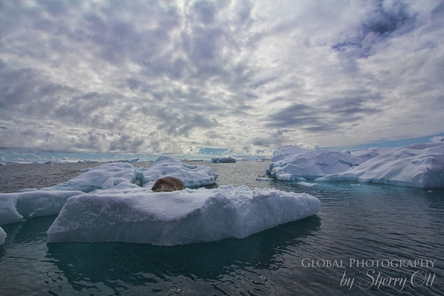 A napping seal on an iceberg