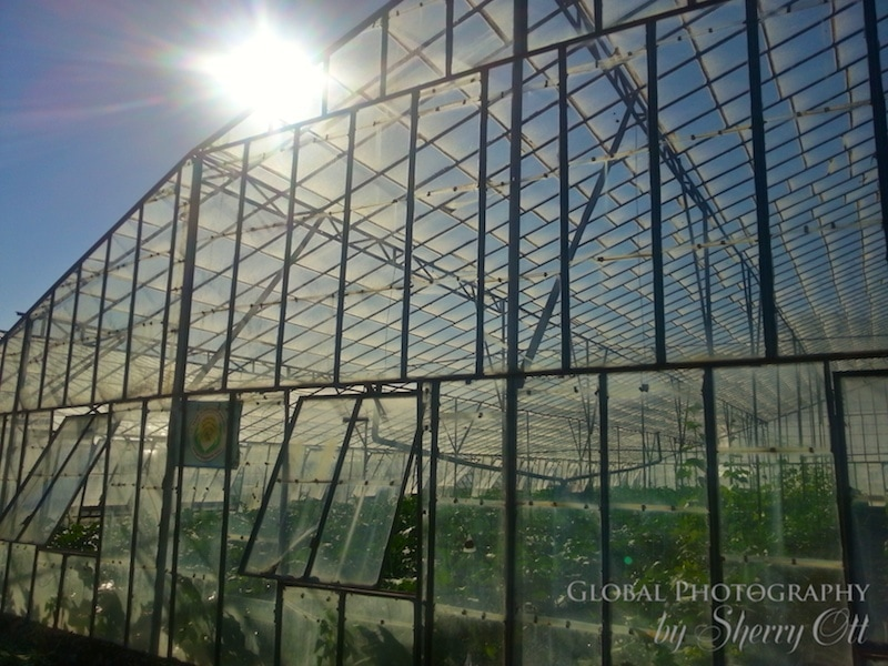greenhouse turkey