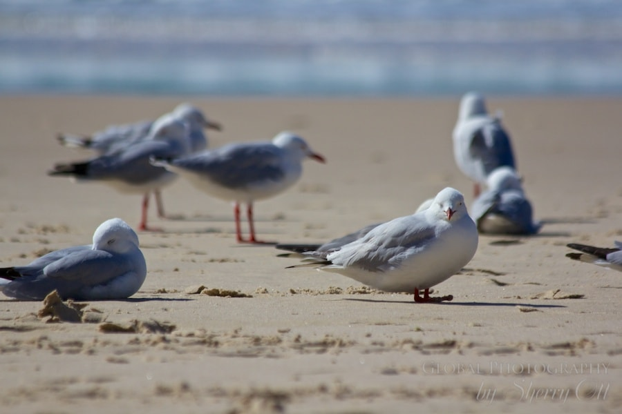 gold coast birds