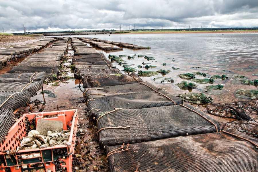 oyster aquaculture