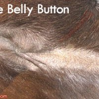 Horses have a belly button!