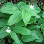 Fat Solomon's Seal (Smilacina racemosa).