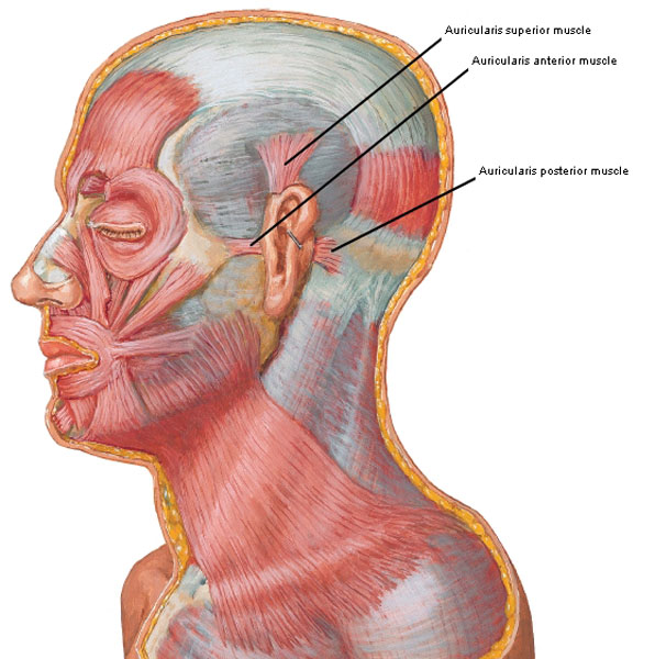 outlander anatomy