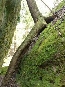Tree Growing In And On Boulders