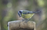 Blue Tit snapped with a Nikon D1