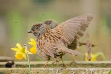 Dunnock 'displaying' to its reflection in a mirror.