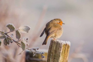 A Robin on the coldest day of winter 2014/2015