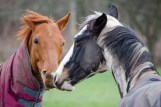 Horses at Titchfield.
