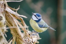 Blue Tit looking for somewhere to nest