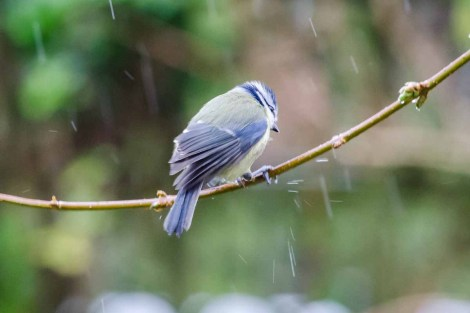 A not very happy looking Blue Tit caught in the rain