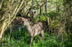 Roe deer amidst the bluebells near Corfe Castle, Dorset