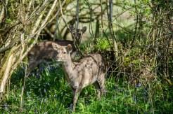 Roe deer amidst the bluebells near Corfe Castle, Dorset