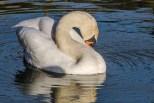 Swan_20180207_7993 24x16