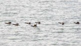 Canada geese flying low along the Meon Shore