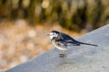 Pied Wagtail Titchfield Meon Shore_20190213_21407