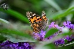 Painted Lady Butterfly_20190831_29624
