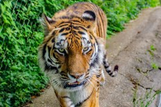 Amur Tiger at Marwell Zoo