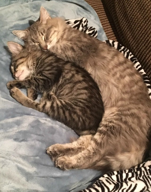 adopt-two-cats-snuggle