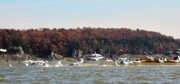 White Pelicans on Harry S Truman Lake at Bucksaw