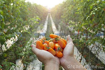landbouwer-die-verse-tomaat-houdt-22516069