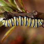 Monarch Larvae01 02-03-12 lo-res